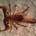 Mediterranean scorpion