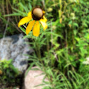 Coneflower /Black-eyed Susan