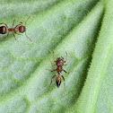 Crematogaster Ant mimic Spider