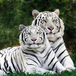 My Little White Tiger LWP