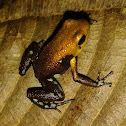 Supatá Golden Frog