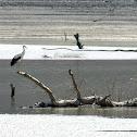 Common stork / Cigüeña común