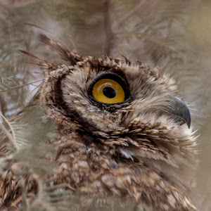 spotted eagle owl bird _MG_2030.jpg