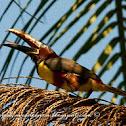 Arasarí fajado (Chestnut-eared aracari)