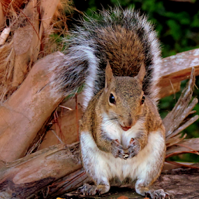 Old Bushy Tails.... by Elfie Back - Animals Other Mammals ( other mammals, florida, grey squirrel, rodent, squirrel,  )