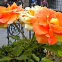 Unknown Rose Hybrid