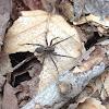 Thinlegged Wolf Spiders