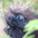 North American Porcupine