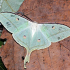 The Indian Moon Moth or Indian Luna Moth