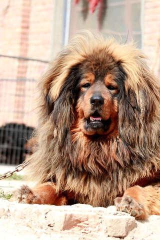 Tibetan Mastiff Puzzle