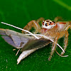 Two Striped Jumping Spider (Female)