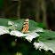 Tiger wing butterfly