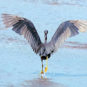 Pacific Egret