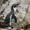 Humboldt Penguin - Pinguim de Humboldt