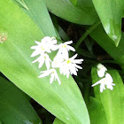 Ramsons  or Wild Garlic