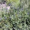 Purple nightshade or chaparral nightshade