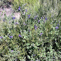 Purple nightshade or chaparral nightshade