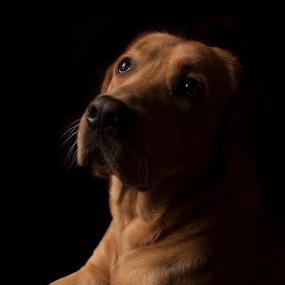 Labrador by Jasna Petrovic-Zivkovic - Animals - Dogs Portraits ( love, pet, dog portrait, friendly, square, labrador )