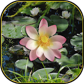 Lotus Magic Live Wallpaper