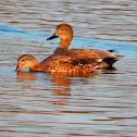 Gadwall ducks couple