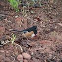 Rufous-sided Towhee (male)