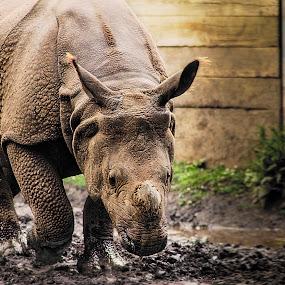 Knight in Armor Rhinoceros  by Sandra Hilton Wagner - Animals Other Mammals ( huge, wild, hide, rhinoceros, powerful, animal, Africa, Safari )