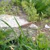 Langosta mediterranea (es), Moroccan locust (uk)