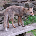 red fox, zorro común