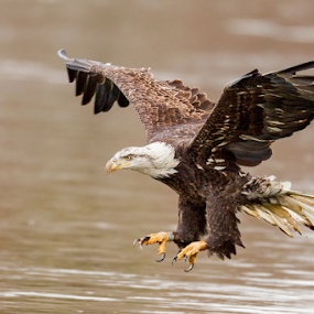 Fishing Eagle by Herb Houghton - Animals Birds ( herbhoughton.com )