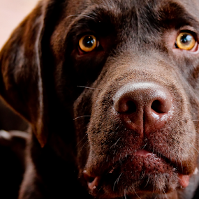 The Duke by Joey - Animals - Dogs Portraits ( close up, dog puppy eyes brown lab )