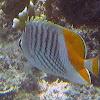 Yellowtail Butterflyfish