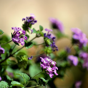 Lantanas by Chris Giese - Flowers Flowers in the Wild ( nature, purple, blooms, lantana, flowers, floral )