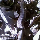 California Alligator Lizard???