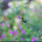 Mabel orchid spider
