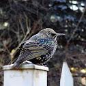 Common Starling, Szpak zwyczajny