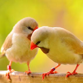 Bird Whisper by Bo Chambers - Animals Birds ( whisper, communication, interaction, couple, yellow, mates, birds )