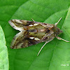 Green Garden Looper Moth