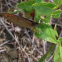 Meadow Brown (Loba)
