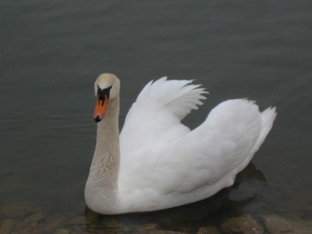 Mute Swan part 1