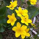 Marsh marigold or cowslip