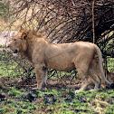 Tree-climbing Lion