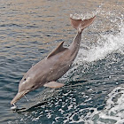Indian humpback dolphin