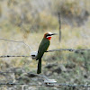 Bee-eater; White-fronted Bee-eater