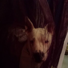 Pay no attention to the axel behind the curtain lol by Amanda Skipworth - Animals - Dogs Portraits (  )