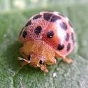 28-spotted potato ladybird