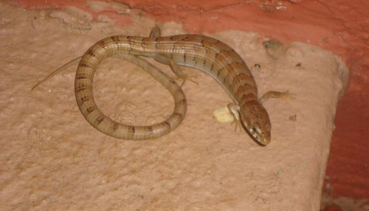 Madrean alligator lizard