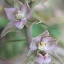 Broad-Leaved Helleborine Orchid