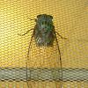 singing cicada