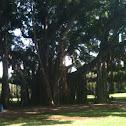 Banyon Tree