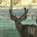 Mule Deer (Muley)